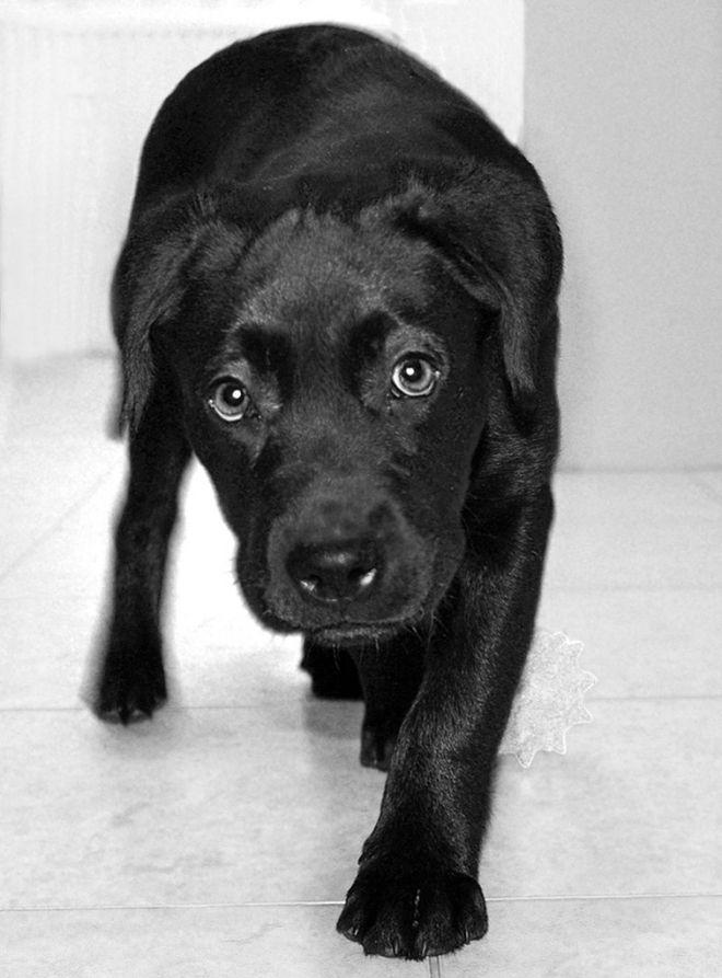 Canine clogged anal glands
